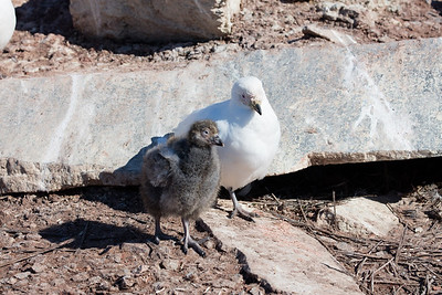 A snowy sheathbill with her chick thriving in the middle of the penguin colony
