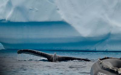 First whale sighting among the icebergs!