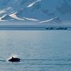 Orca, Gerlache Strait