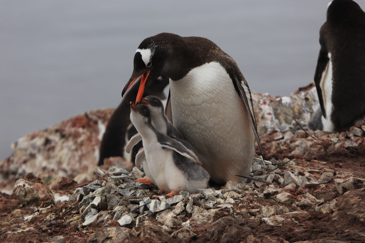 Gentoo with chicks, on Cuverville Island, in the  Errera Channel, 64° 41′ 0″ S, 62° 38′ 0″ W  http://en.wikipedia.org/wiki/Cuverville_Island