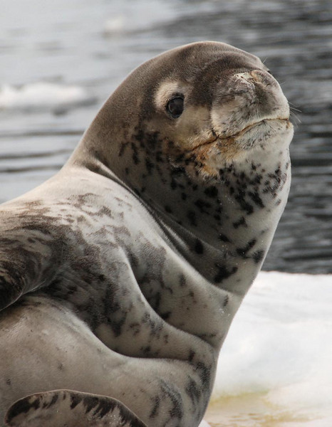 Leopard Seal, Lemaire Channel