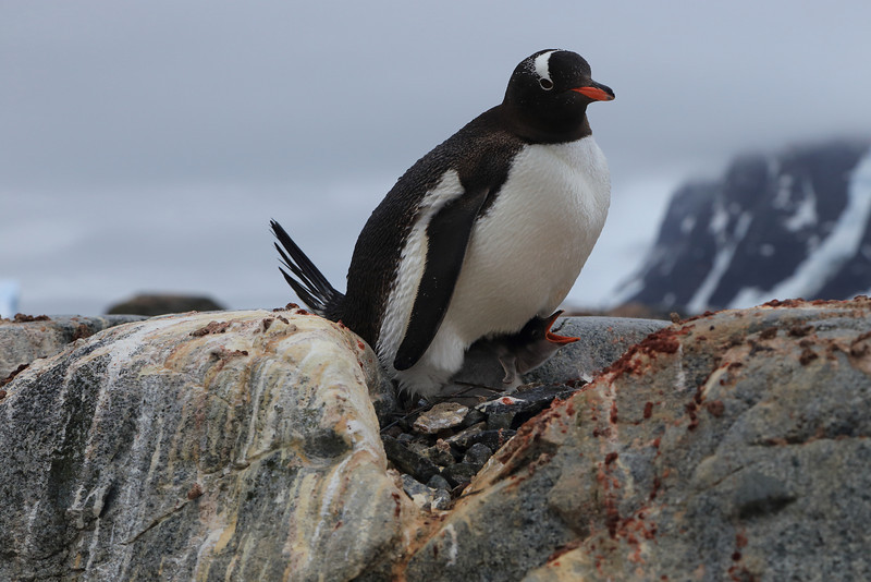 Gentoo with chicks, on Cuverville Island, in the Errera Channel, 64° 41′ 0″ S, 62° 38′ 0″ W