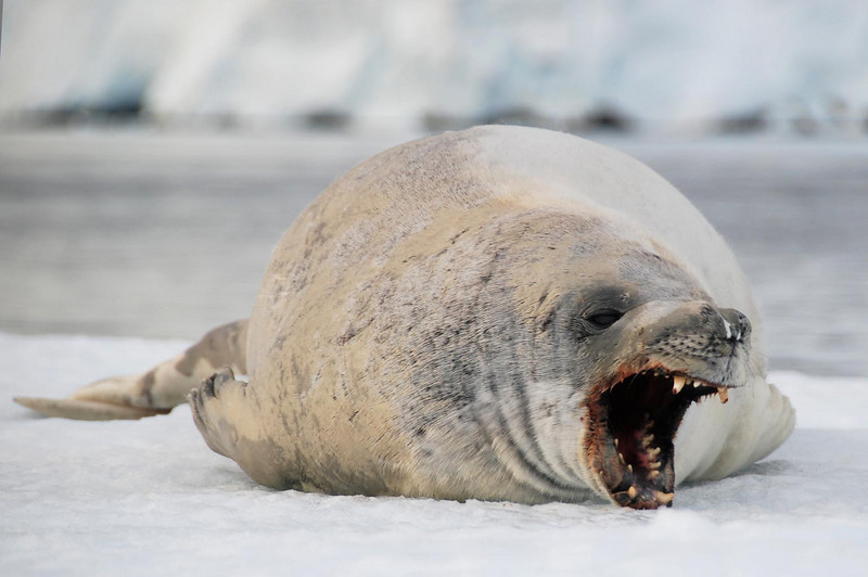 Crabeater Seal, Lemaire Channel