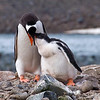 Gentoo Penguins, Yankee Harbour