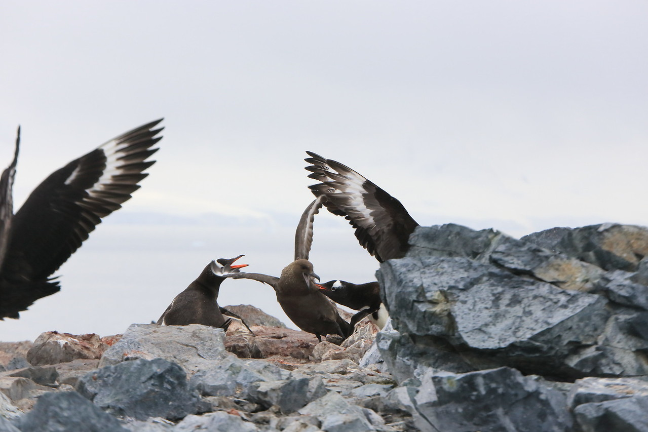 A nest sitting Gentoo has a good bit of a Skua, trying to steal the penguin chick for dinner. Cuverville Island, in the Errera Channel, 64° 41′ 0″ S, 62° 38′ 0″ W