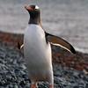 Gentoo Penguin, Yankee Harbour