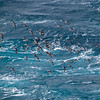 Cape Petrels, Drake Passage