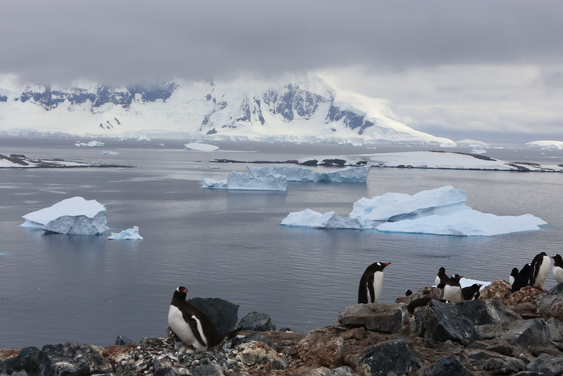 Gentoo, on Cuverville Island, in the  Errera Channel, 64° 41′ 0″ S, 62° 38′ 0″ W  http://en.wikipedia.org/wiki/Cuverville_Island