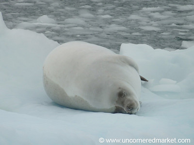 Sleeping Crab-Eater Seal - Antarctica