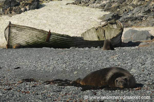 Elephant Seal at Half Moon Island - Antarctica