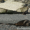 Elephant Seal at Half Moon Island - Antarctica