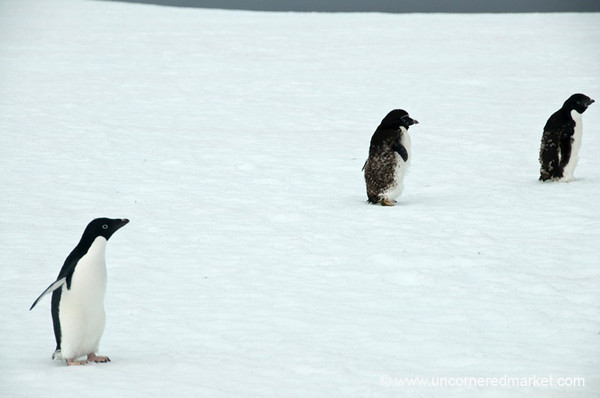 Adelie Penguins on the Move in Antarctica