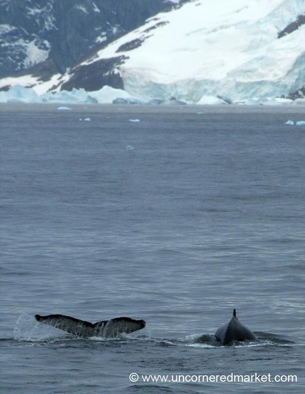 Humpback Whales in Antarctic Waters