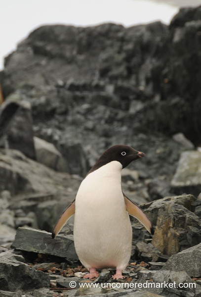 First Penguin Sighting! Detaille Island, Antarctica