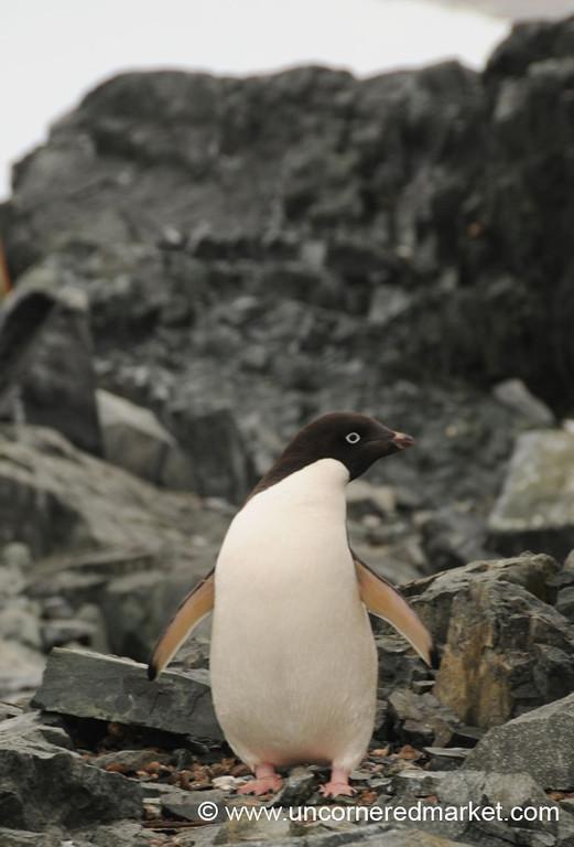 First Penguin Sighting! Detaille Island, Antarctica