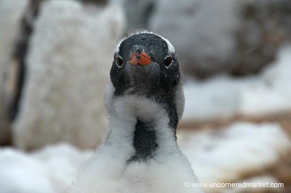 Gentoo Penguin Becoming an Adult - Antarctica