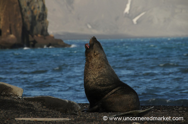 Fur Seal Yawn - Deception Island, Antarctica