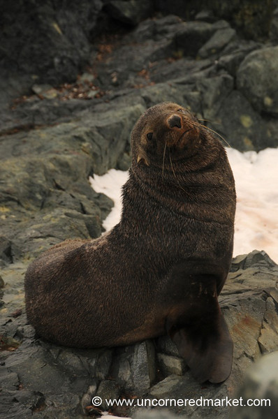 Cute Face - Fur Seal in Antarctica