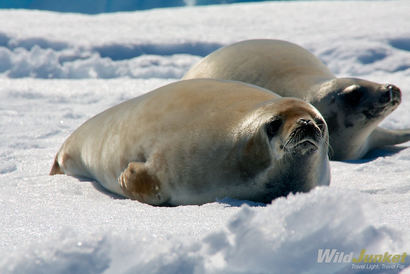 a crabeater seal at Cuverville