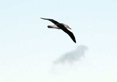 Brown-browed albatross