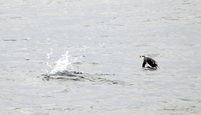 Penguins swimming, about 150 miles from the nearest land.