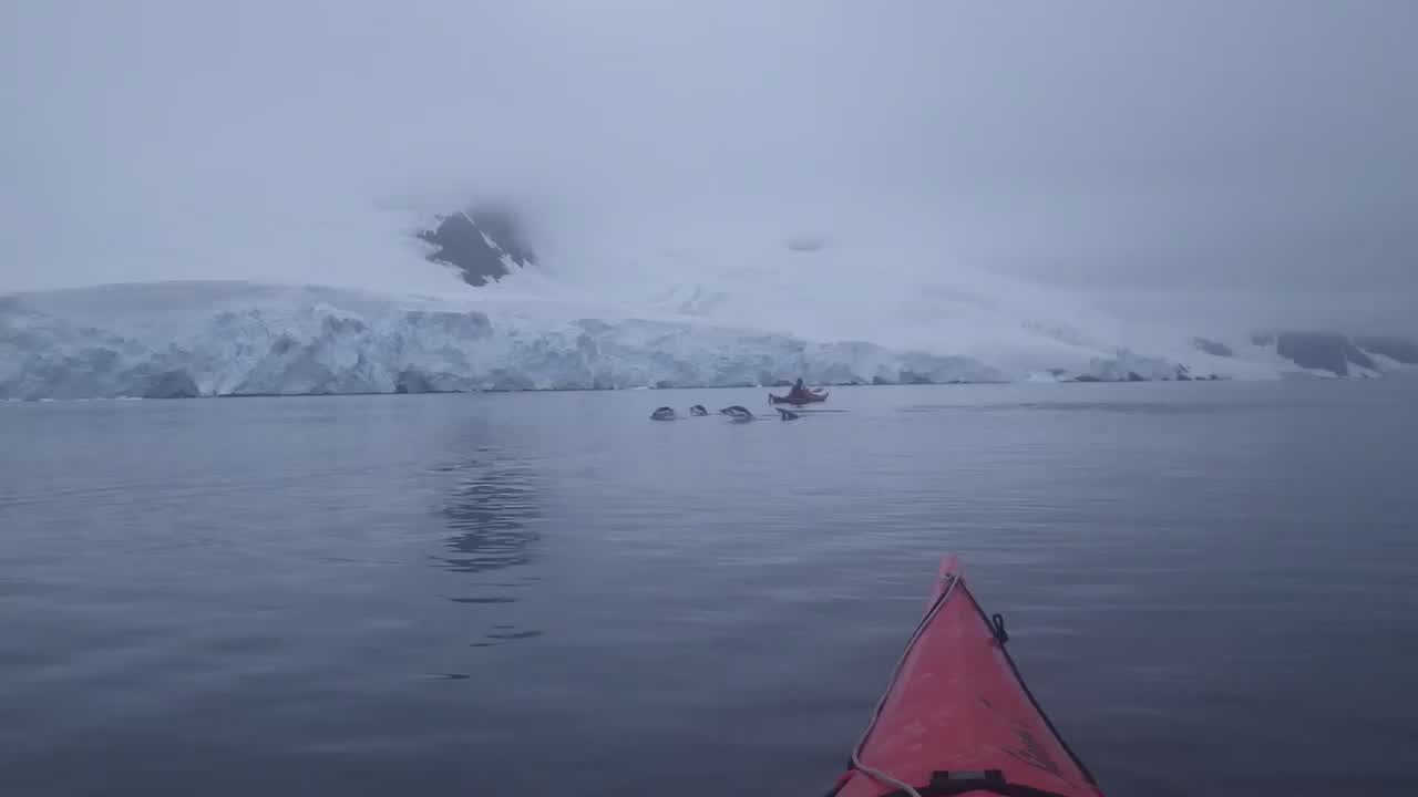 Leaping Penguins (Video)