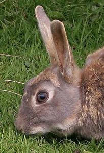 Parque Nacional, Tierra del Fuego, Argentina: European rabbits were introduced into Tierra del Fuego a long time ago; they run rampant now.