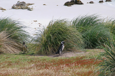 Gypsy Cove, East Falkland Island: Two Magellanic penguins returning from the beach to their burrows; the tussock provides good protection from the elements.