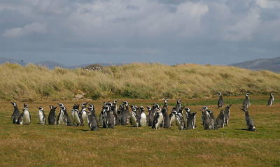 Carcass Island, West Falklands: Our first encounter with Magellanic penguins; this is the second species of our trip.