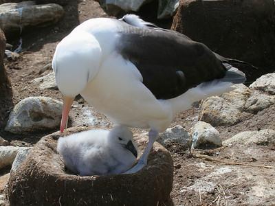New Island, West Falklands: Black-browed albatross tending its chick.