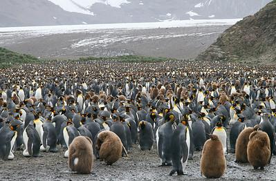 Salisbury Plain, South Georgia Island: Just some of the king penguins at Salisbury Plain.
