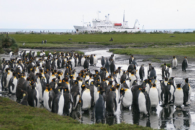 Salisbury Plain, South Georgia Island: Our first big group of king penguins is not far from the beach where we landed.