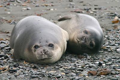 King Haakon Bay, South Georgia Island: Elephant seals resting on the beach.