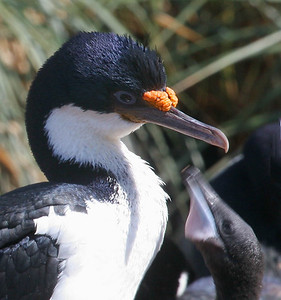 "New Island, West Falklands: ""Feeding Frenzy!"" - the blue-eyed shag chick is desperately begging to be fed."