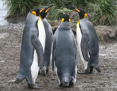 "Salisbury Plain, South Georgia Island: ""King Penguin Pow-Wow"""