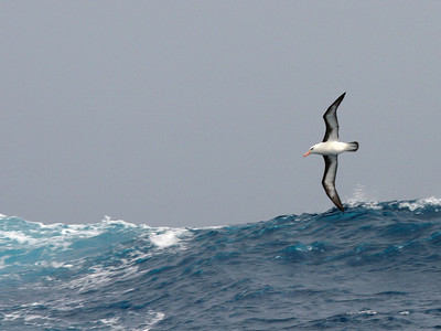 "At Sea to South Georgia Island: ""Black-Browed Albatross"" - An odd thing to say about these seabirds that spend most of their lives in flight, but albatrosses in general are not good flyers.  They need strong winds so they can ride the updrafts."