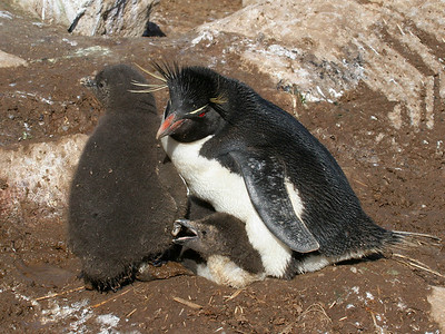 "New Island, West Falklands: ""Rockhopper Penguin Family""  (Notice the chick beneath the adult is about to take a peck at the other chick's flipper.)"
