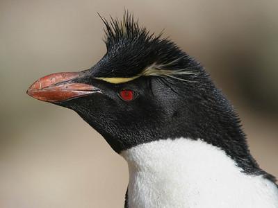 "New Island, West Falklands: ""Portrait of a Rockhopper Penguin"""