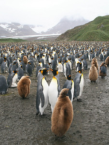 Salisbury Plain, South Georgia Island: How on earth do they count all these penguins?