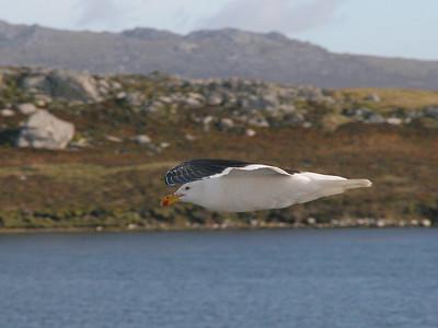 "East Falklands: ""Kelp Gull in Flight"""