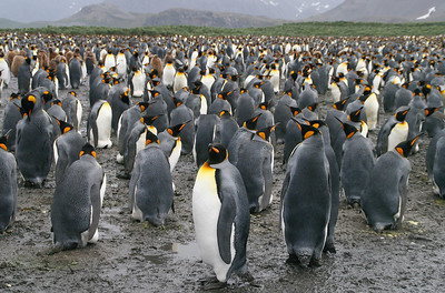 Salisbury Plain, South Georgia Island: Some of these kings are incubating eggs; the others are just hanging out.