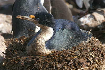 "New Island, West Falklands: ""Blue-Eyed Shag on the Nest"" - nesting is dirty business."