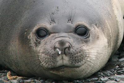 "King Haakon Bay, South Georgia Island: ""Elephant Seal Portrait"""