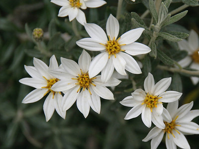 These daisy-like flowers grow in bushes; they are plentiful in Parque Nacional Tierra del Fuego.