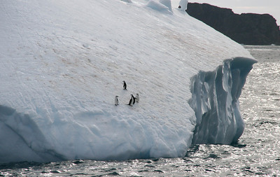 Chinstrap penguins rafting by on an iceberg.