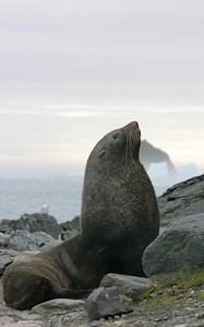 A haughty fur seal greets us on shore.