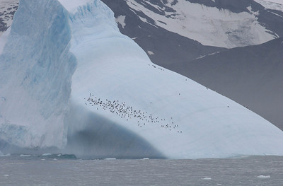 Penguins rafting by on an iceberg.