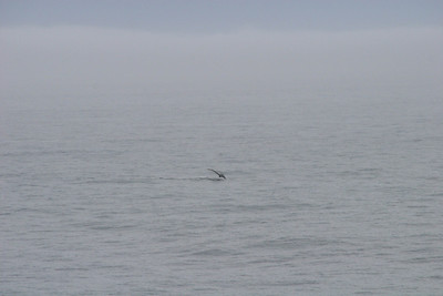 Too bad the angle is wrong on this picture; we would have otherwise gotten a good look at the fluke as the whale disappeared.