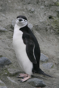 A chinstrap penguin at Cape Lookout.