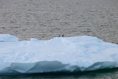 Two Adélie penguins rafting by on a sheet of ice.